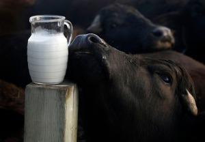 Buffalo Milk Kefir